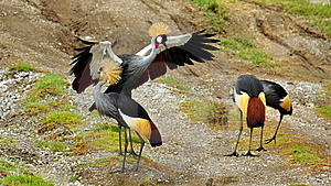 Gray Crowned Cranes Stock Images - Image: 15503704