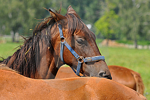 Beautiful Rascal Horse Royalty Free Stock Images - Image: 15504219