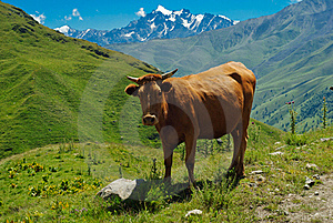 Cow Stock Photos - Image: 15504263