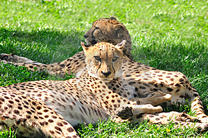 Cheetahs. Royalty Free Stock Images - Image: 15505359