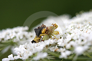 Ambush Bug Stock Photo - Image: 15506060