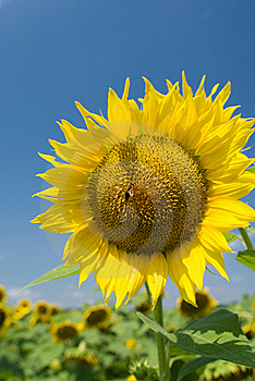A Bee On A Sunflower Royalty Free Stock Photo - Image: 15506205