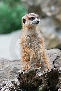 Meerkat (Suricata Suricatta) Stock Photo - Image: 15507890