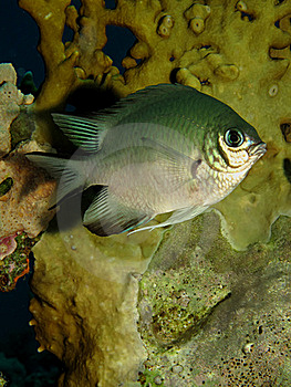 Pale Damselfish Stock Images - Image: 15508004