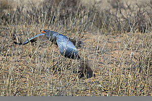 Southern Pale Chanting Goshawk Stock Photos - Image: 15511373