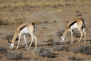 Springbok In The Kalahari Stock Images - Image: 15514204