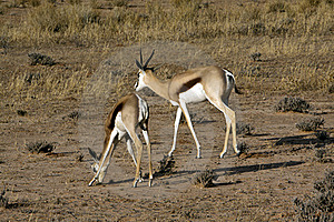 Springbok In The Kalahari Royalty Free Stock Photos - Image: 15514258