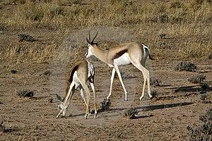 Springbok In The Kalahari Royalty Free Stock Photos - Image: 15514258