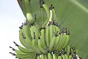Green Bananas Stock Images - Image: 15515664