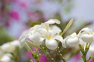 Glorious Frangipani Or Plumeria Flowers Royalty Free Stock Image - Image: 15515826