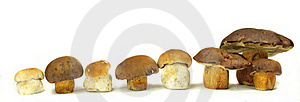 Ceps Royalty Free Stock Photos - Image: 15516628