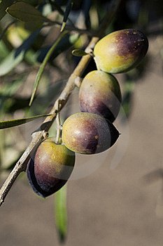 Bunch Of Olives Royalty Free Stock Image - Image: 15518296