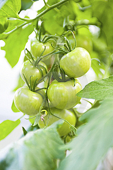 Crude Tomatoes Royalty Free Stock Photography - Image: 15522827