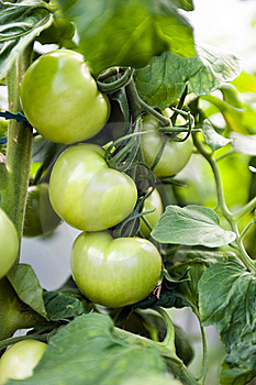 Green Tomatoes Stock Images - Image: 15522864