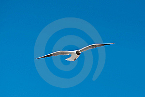 Seagull Flying Stock Photography - Image: 15524942