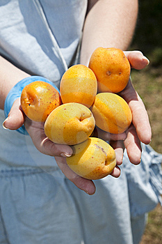 Apricot Stock Photo - Image: 15528550