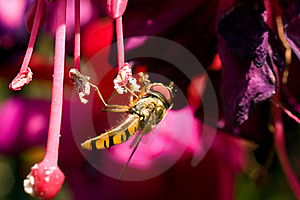 Insect Collecting Nectar Stock Image - Image: 15530231