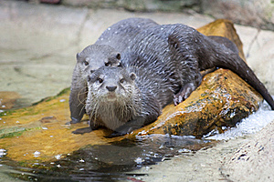 Asian Small-Clawed Otters Royalty Free Stock Photo - Image: 15531165