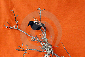 Halloween Raven On A Dead Branch Royalty Free Stock Photo - Image: 15531235