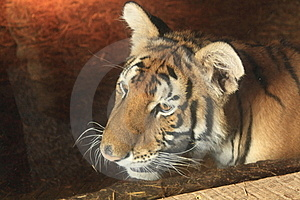 Wild Cat Under Glass Royalty Free Stock Photos - Image: 15532198
