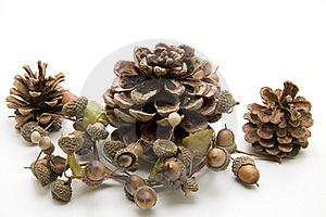 Fir Cone With Acorn Stock Photography - Image: 15536922