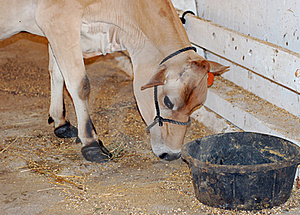 Calf Eating Stock Image - Image: 15537731