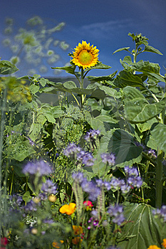 Sunflower Stock Photography - Image: 15539372
