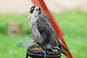 Falcon Peregrine (Falco Peregrinus) On A Perch. Stock Photo - Image: 15540240