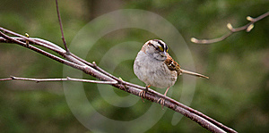 White-throated Sparrow On A Branch Stock Photo - Image: 15541520