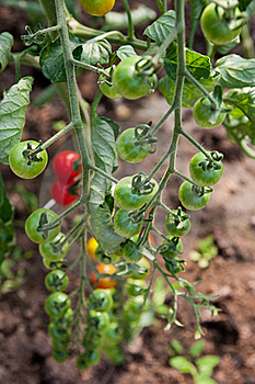 Organically Grown Cherry Tomatoes Stock Photo - Image: 15542340