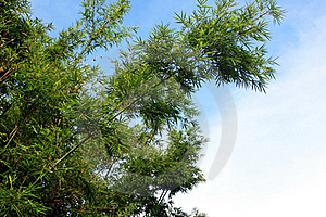 Groene Bamboeboom Royalty-vrije Stock Foto - Afbeelding: 15542455
