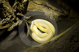 Albino Monocle Cobra Stock Photo - Image: 15548340