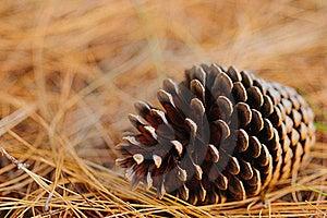 Pine Cone Stock Image - Image: 15548521