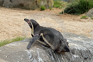 Penguin Laying Down Stock Image - Image: 15550981
