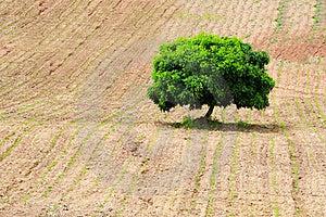 Alone Tree Stock Photos - Image: 15552093