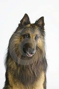 Tervueren Portrait Stock Photography - Image: 15553002