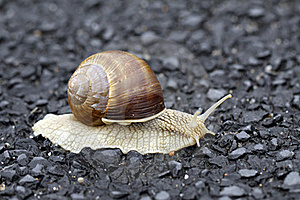 Edible Snail Royalty Free Stock Photo - Image: 15554755