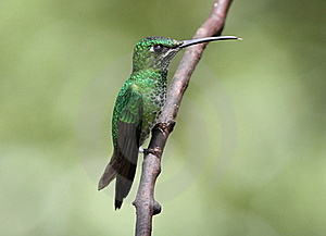 Green-crowned Brillant Heliodoxa Jacula Royalty Free Stock Images - Image: 15555319