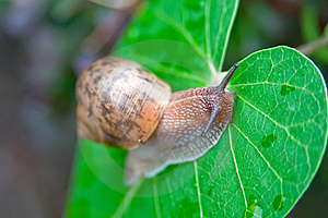 Big Snail Royalty Free Stock Image - Image: 15559216