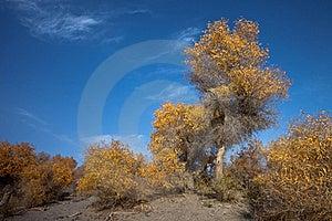 Populus Euphratica Stock Image - Image: 15560951