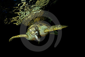 Green Turtle Royalty Free Stock Photos - Image: 15561068