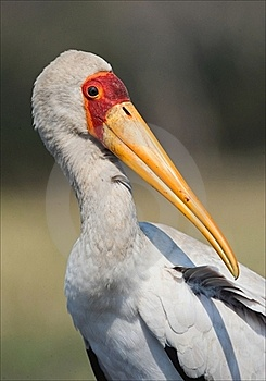 The Yellow-billed Stork. Royalty Free Stock Photography - Image: 15563107