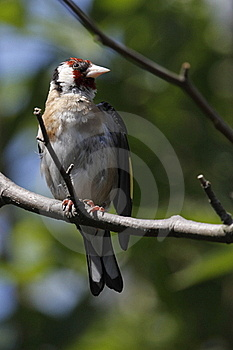 European Goldfinch Stock Images - Image: 15563714