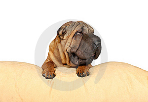 Sharpei On A Pillow Royalty Free Stock Photo - Image: 15565245