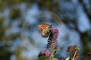 Monarch Butterfly Stock Photos - Image: 15566173