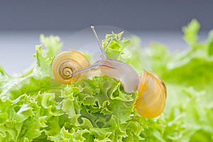 Snails On Salad Royalty Free Stock Images - Image: 15567549