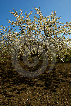 Flowered Cherry Tree Stock Photos - Image: 15568283