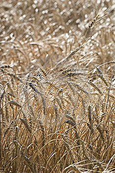 Crops In A Field Royalty Free Stock Photos - Image: 15570848