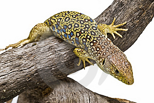 An Ocellated Lizard Climbing A Branch. Stock Photo - Image: 15570860