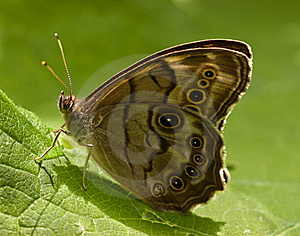 Eyed Brown Butterfly Sitting On A Leaf. Stock Photo - Image: 15571350